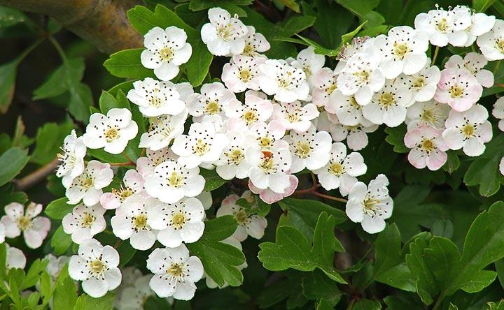 Il Biancospino: la pianta della circolazione e della forza vitale