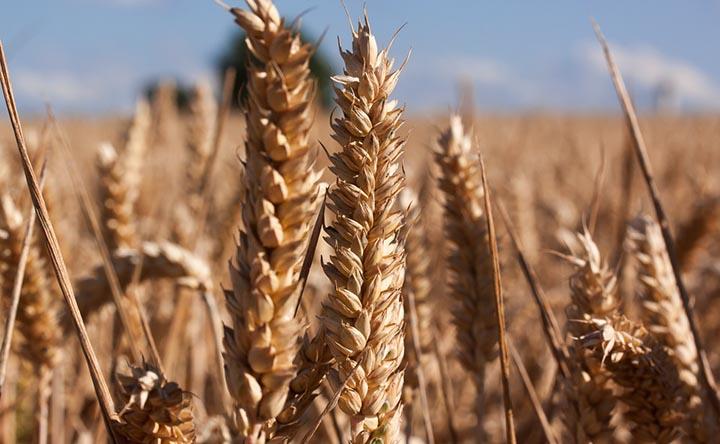 """Il grano, questo """"sconosciuto"""""""